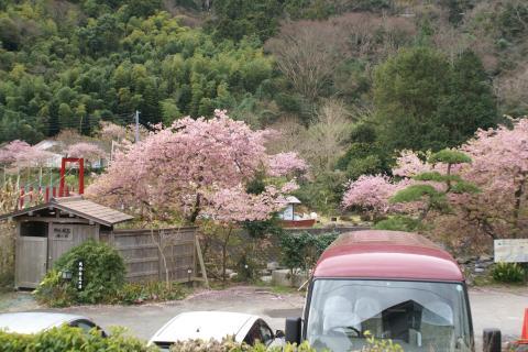 20090303090934kawabatahirobasakura.jpg