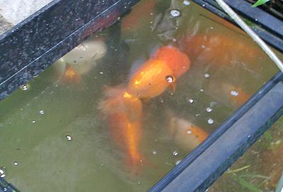 ポニョのモデルとなった金魚
