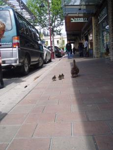 duck+013_convert_20081029133732[1]