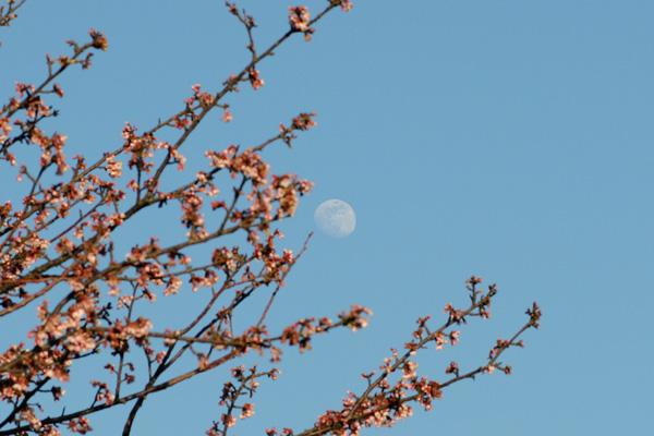 今日の月と桜