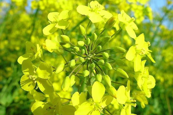 サイケな菜の花