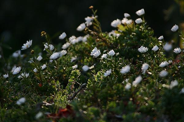 林の中に咲くデイジー