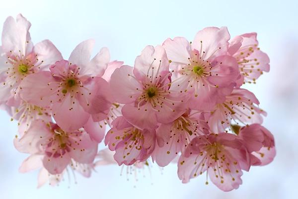 青空に透ける花びら