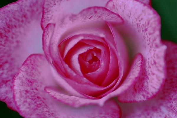 そばかすピンクな薔薇