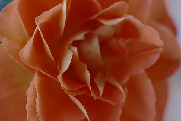 大人の薔薇