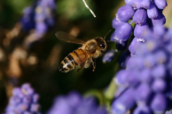 ムスカリと蜂②