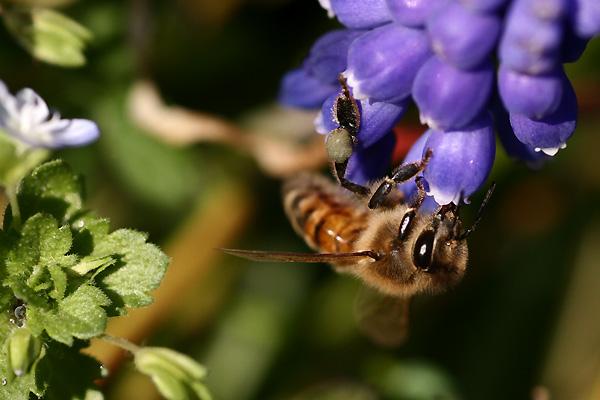 ムスカリと蜂①