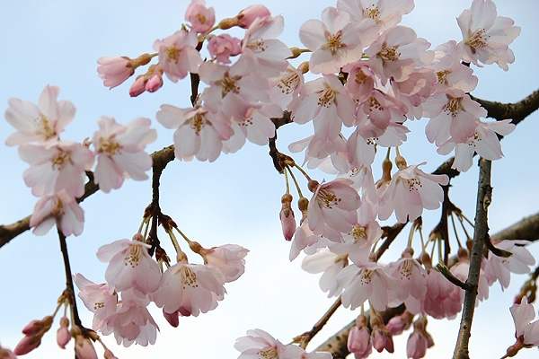 桜(゚∀゚)イイッ!!