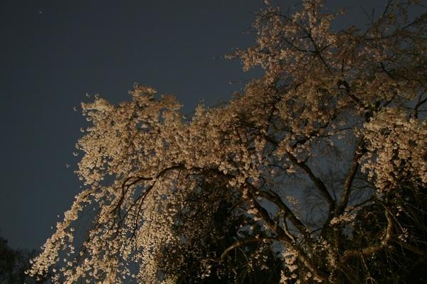 現世桜の幻想