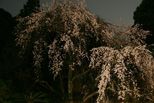 現世桜の夢