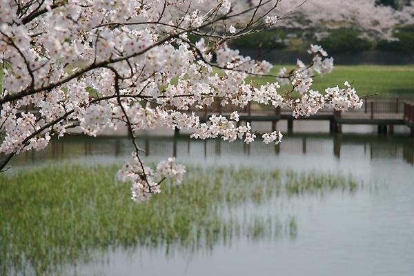 ソメイヨシノも咲きますた(`Д´)ゞ ビシッ!