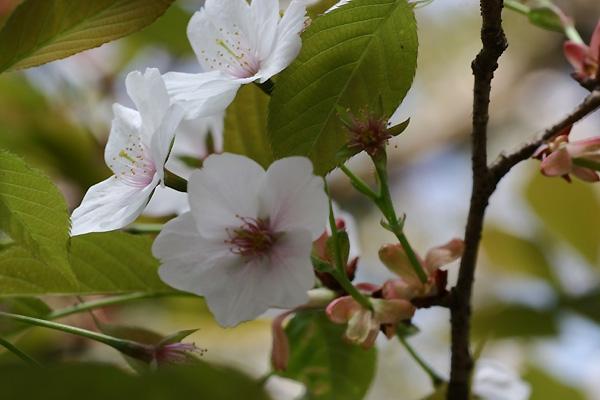 新緑の中で咲く