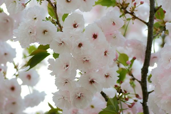 八重桜o(*'▽'*)/☆