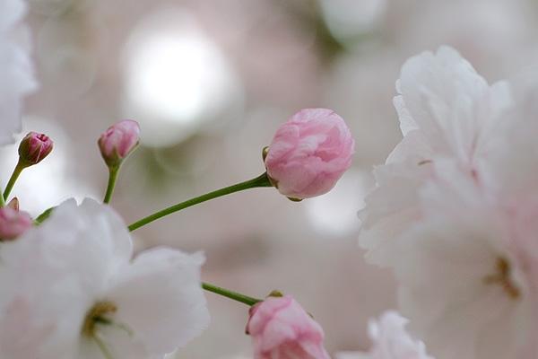 八重桜(*´∇`*)