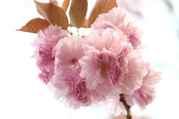 八重桜ヽ(´ー`)ノ