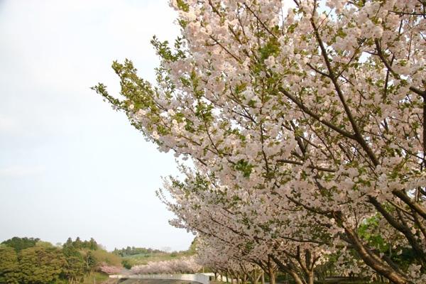 八重桜(σ・∀・)σ