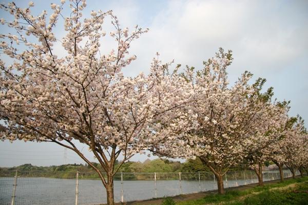 八重桜(=゚ω゚)ノ