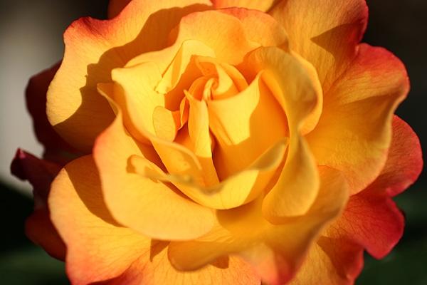 オレンジマンゴジュースな薔薇