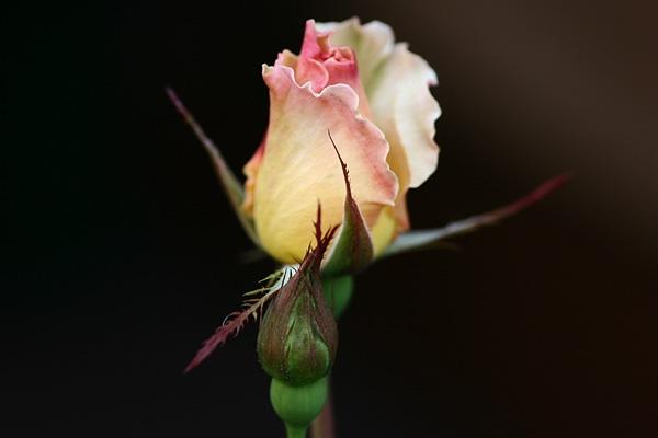 セクシーな薔薇(´∀`)ゞ