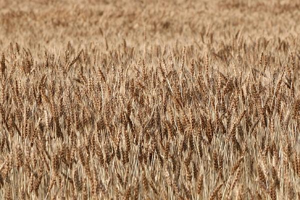 麦畑だねぇ(´∀`)