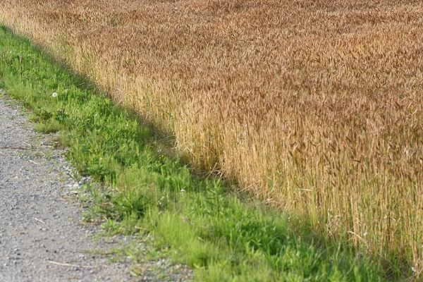 道端と麦畑