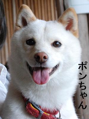 ぽんちゃん400