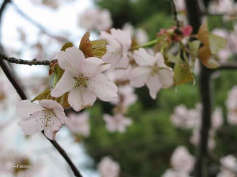 札幌の桜4,29