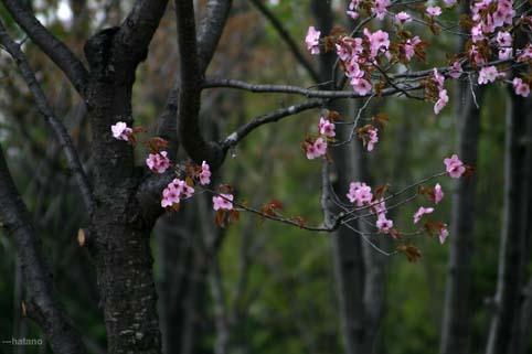 08,5,3桜