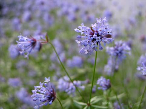 紫の小さな花
