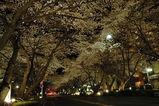 夜桜西門並木道1