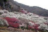 幕山公園梅の宴
