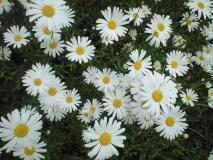 一面に咲くマーガッレト