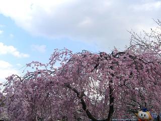 kittan shidarezakura  blog