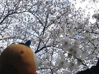 kittan someiyoshino  blog