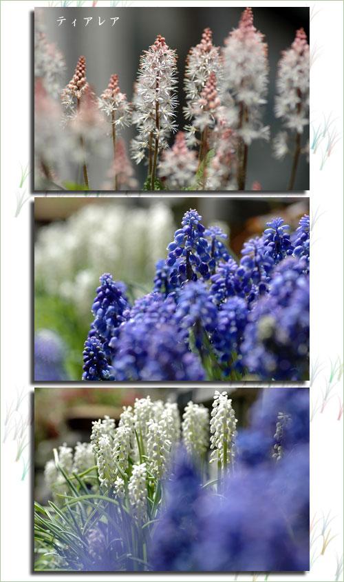 4月20日庭の花1