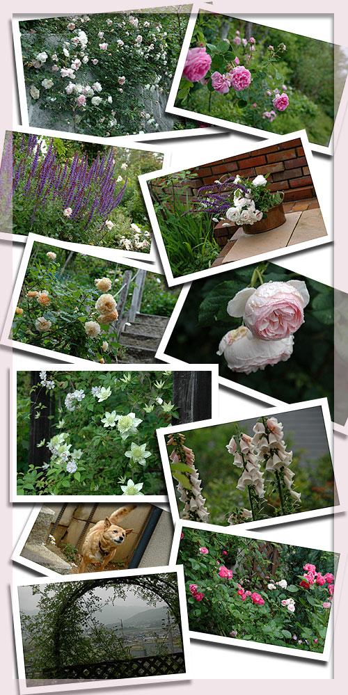 6月16日oldrose-garden