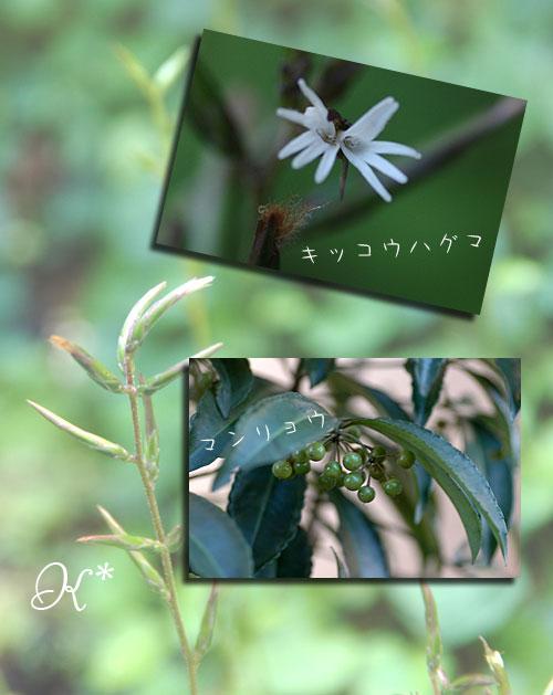 11月14日庭の花2
