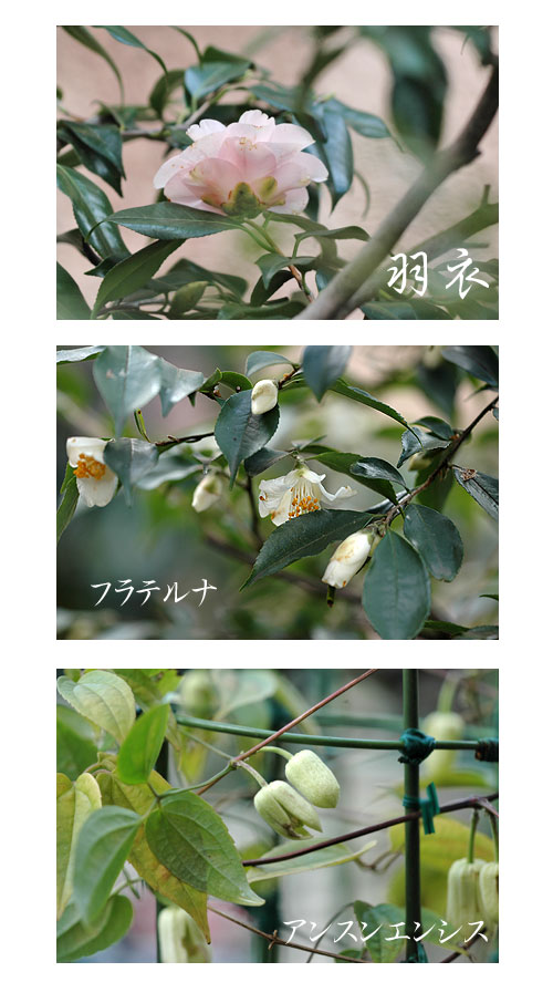 1月19日庭の花2