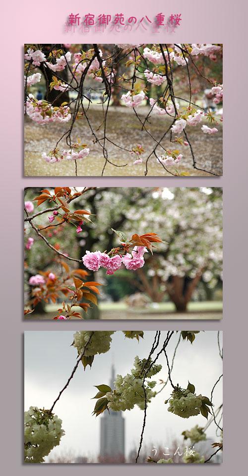 4月11日新宿御苑1