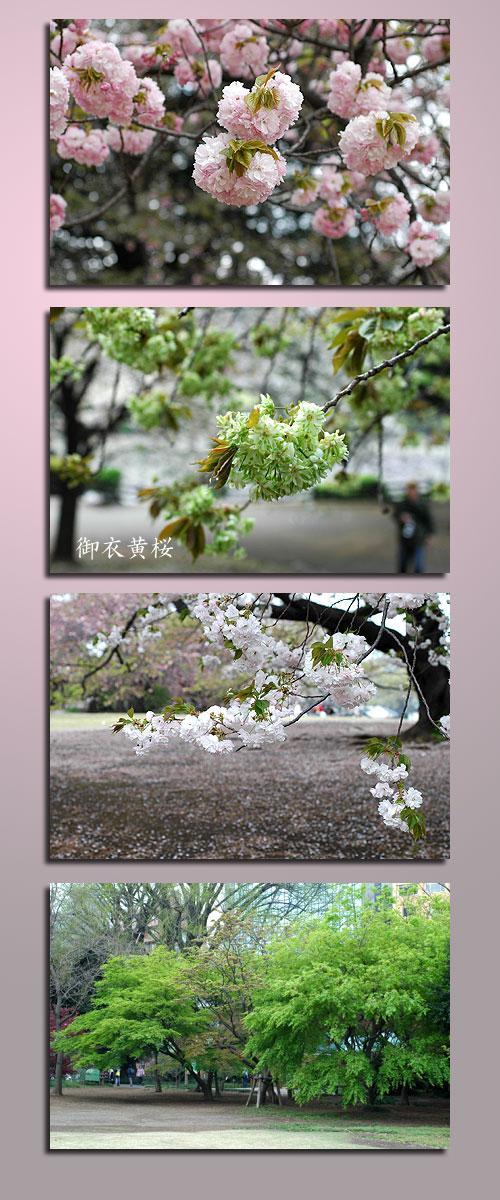 4月11日新宿御苑2