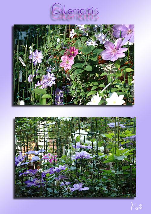 5月3日庭の花1