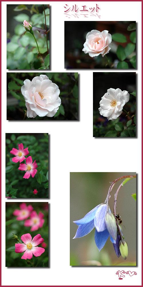 5月15日庭の薔薇