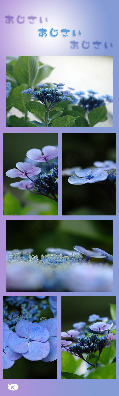 6月12日紫陽花