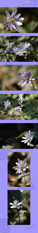 3月9日ユキワリイチゲ1