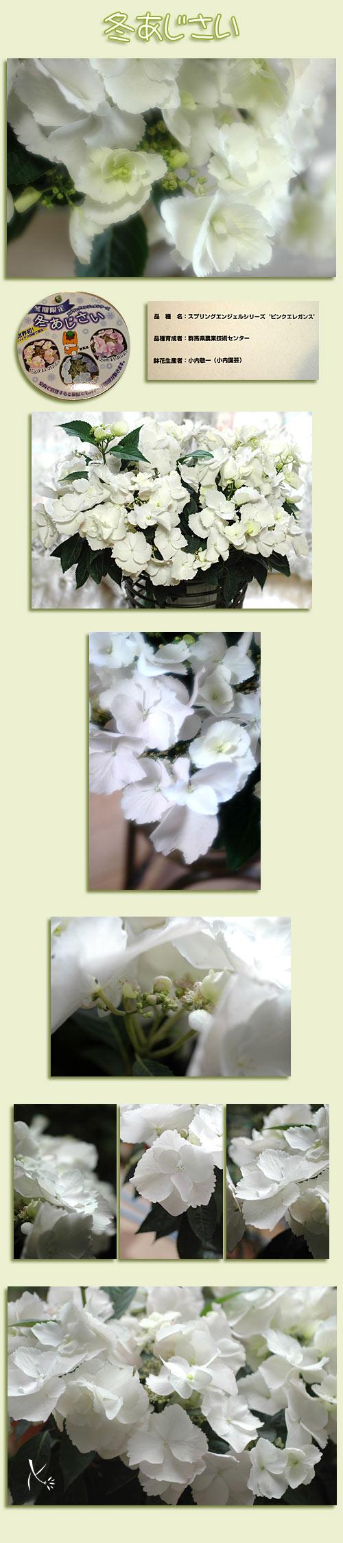 4月1日冬紫陽花