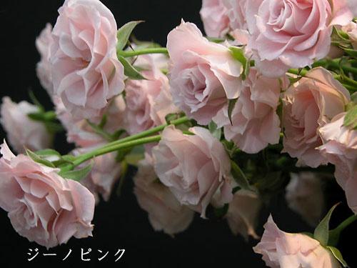 4月13日ジーノピンク