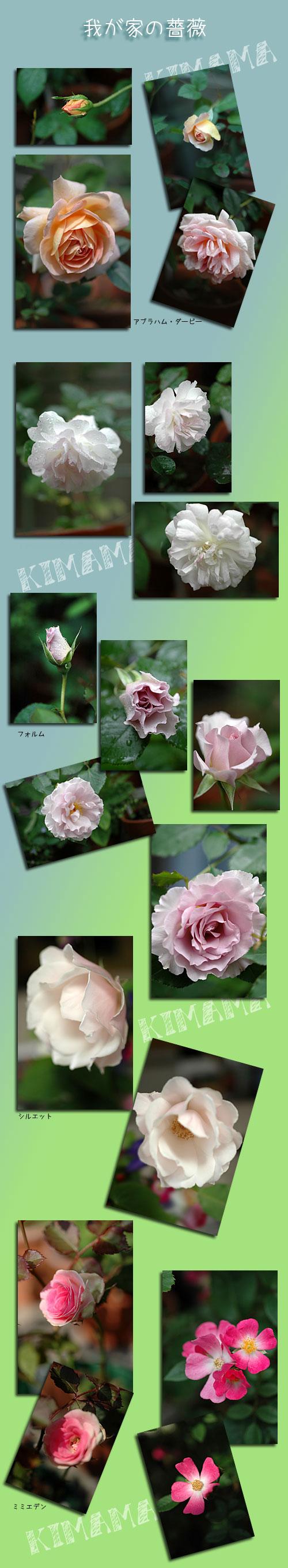 5月24日庭の薔薇1