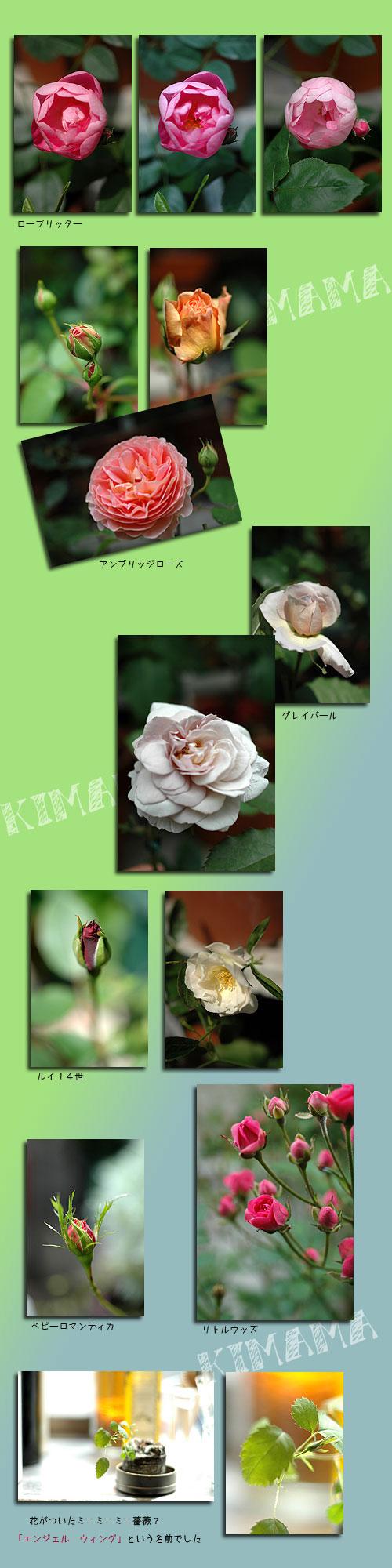 5月24日庭の薔薇2