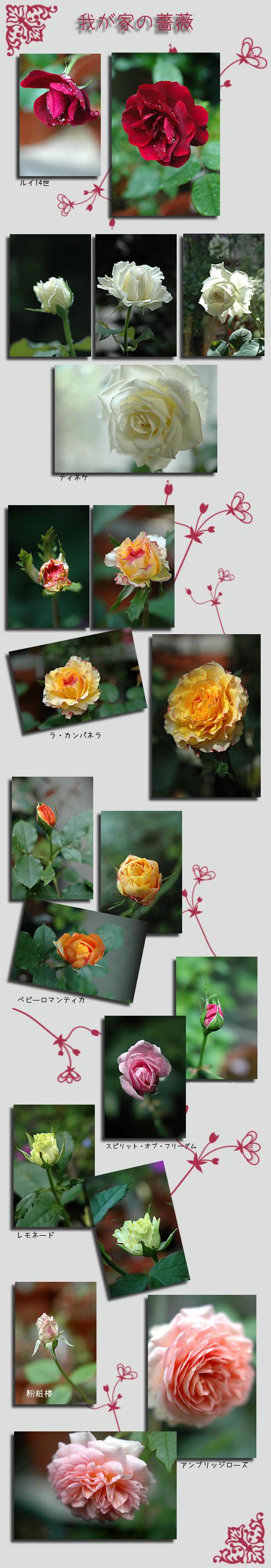 6月7日我が家の薔薇1