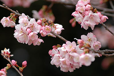 3-11syuzenji-kanzakura.jpg
